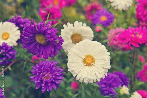 Asters flowerbed garden