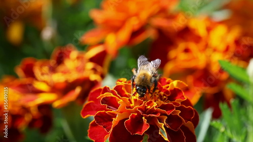 bumblebee on flower marigold