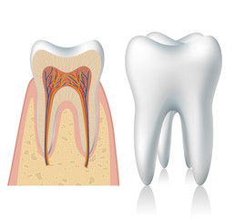 Tooth anatomy and 3d model