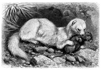 Furrett - Furet - Frettchen