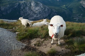 Group of white sheep in Norwegian mountains