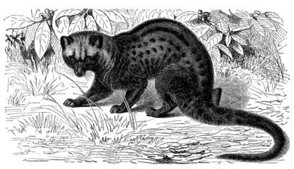 Civet - Civette Palmiste