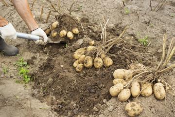 Rancher harvesting potato