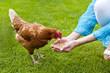 Huhn wird gefüttert