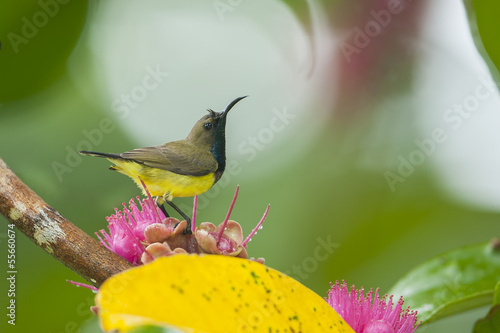 Olive-backed sunbird on lovely flower,thailand