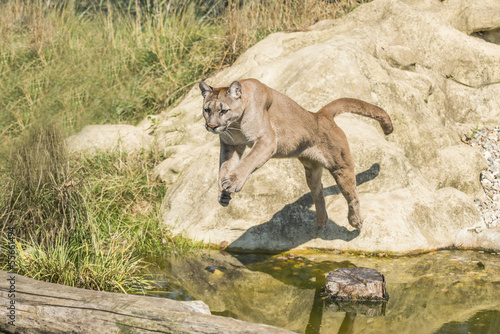 Aluminium Puma Puma (Felis Concolor) leaping off a rock over water