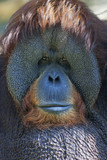Narrow look at the world. Eye to eye with an orangutan male