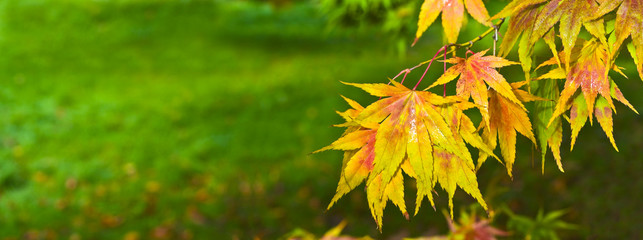 Autumn colours, Acer leaves