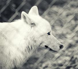 captive wolf