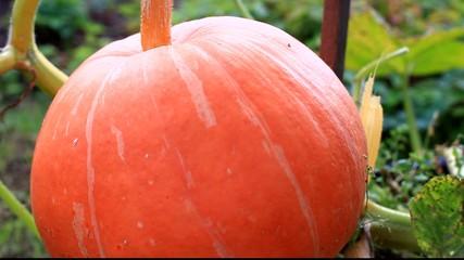 Pumpkin in the garden, closeup