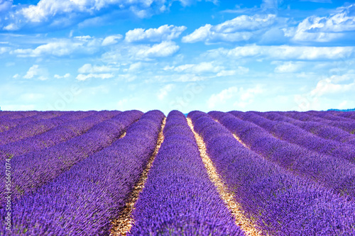 Lavender flower blooming fields endless rows. Valensole provence - 55667074
