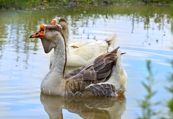 Pair of geese floating in pond
