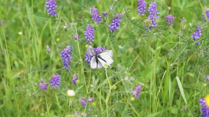 White butterflies on meadow flowers