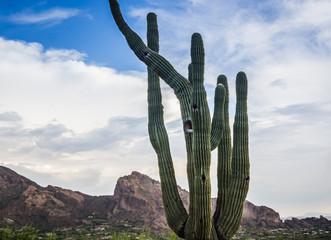 Saguaro cactus tree Camelback Moutain Phoenix, AZ