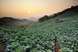 Sunset over a field of cabbage.