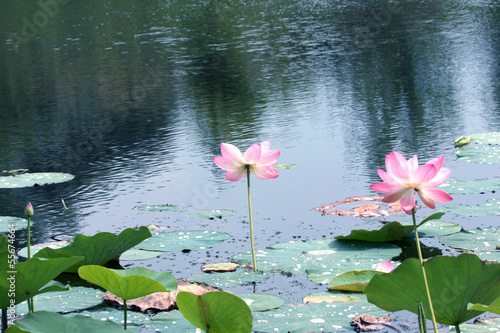 Beautiful flowerses Nelumbo nucifera on the water surface