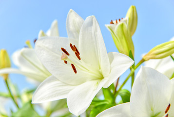 Lily with blue sky
