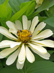 bee and a white flower