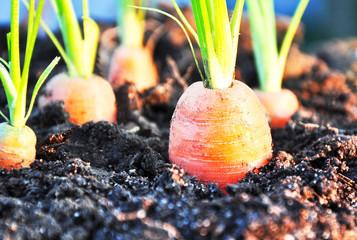 Möhren im Gemüsegarten