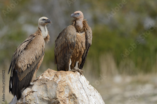 Two griffon vultures standing on a rock.