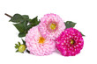 three pink dahlias with buds isolated on white background