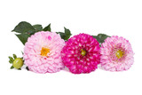 Three shades of pink flower dahlia isolated on white background