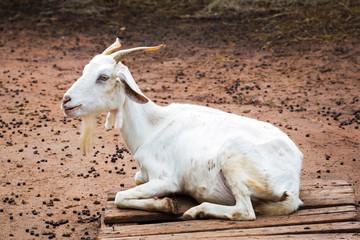 Goat in farm