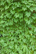 ゴーヤの葉