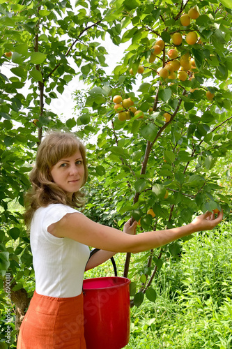 The young woman collects apricots in a garden