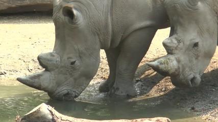 t^te de rhino