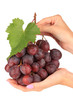 Ripe delicious grapes in hands isolated on white