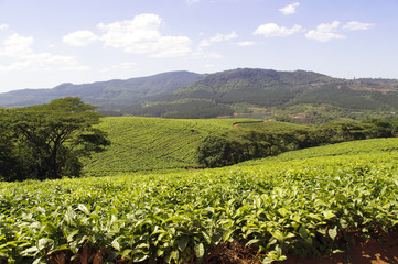 Tea plantations in South Africa