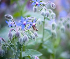 Blue borage, star flower