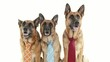 6of14 Group of purebred alsatian dogs on white background, pets
