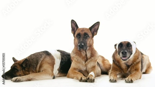 11of14 Group of purebred alsatian dogs on white background, pets