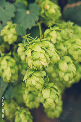ripe cones of hops