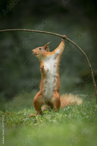 Red Squirrel in funny pose.