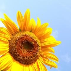 wunderschöne Sonnenblume mit Biene
