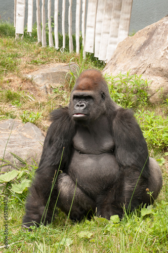 Large gorilla looking at his right at the zoo