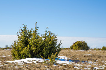 Juniperus bushes
