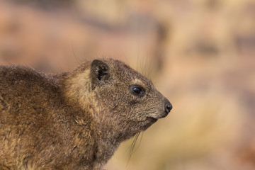 Close Dassie Portrait, Namibia