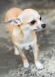 A very cute Chihuahua