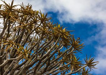 Quiver Tree Closeup, Namibia