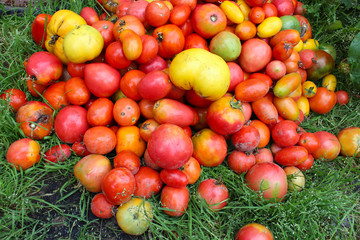 harvest of red and yellow tomato