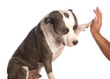 american staffordshire terrier gives a high five
