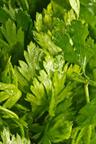 background of parsley