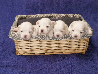 Shitzu puppies in a basket