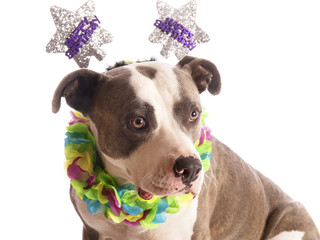 american staffordshire terrier with party hat happy birthday