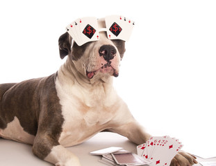 american staffordshire terrier with playing cards