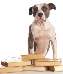 american staffordshire terrier reading a book